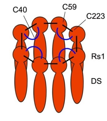 Imagen 12 Estructura Homo Octamérica
